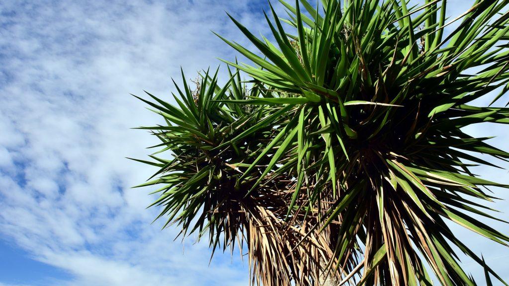 Himmel mit Yucca-Pflanze. Foto: ulleo / Pixabay