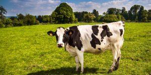 Kuh steht auf Weide. Foto: Arnaud Liégeois / Pixabay